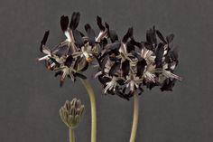 Pelargonium auritum var. auritum, South Africa