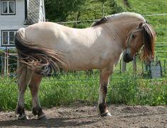 Fjord_Pony_15_by_Mirk_stock