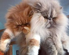 2 smushies for the price of 1  From: @libbyjoykitty #PersianCat