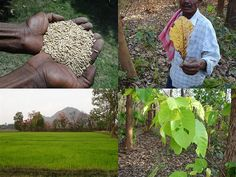 Medicinal Rice Formulations for Diabetes Complications and Heart Diseases (TH Group-51) from Pankaj Oudhia's Medicinal Plant Database