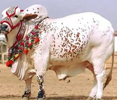 Funny Bakra Sms Eid Wallpapers & Pics