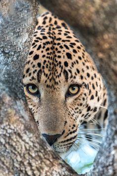 ~~Leopard Peep by Rudi Hulshof~~