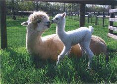 alpacas | Alpacas Interacting - 3rd Place