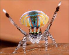 Araña Pavo Real, Maratus volans  Este curioso y desconocido animal vive en Australia.