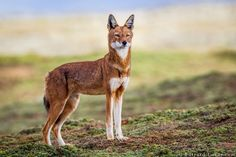 Ethiopian Wolf by Will Burrard-Lucas on 500px