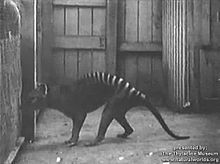 Soubor:Thylacine footage compilation.ogv