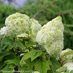 USDA Hardiness Zones 5a - 9b Height 6 - 8 Feet Tall Spread 6 - 8 Feet Wide  The Gatsby Moon® Hydrangea is a Proven Winners ColorChoice® oakleaf hydrangea. The extra large shrub will grow 6 to 8 feet wide and tall! The panicle flowers start out creamy white, then turn more lime green towards the end of summer and into fall. The blooms last most of summer, which is a really nice trait of this bush. The leaves are oak shaped like other quercifolia hydrangeas, and green in color throughout the summe Full Sun Hydrangea, Smooth Hydrangea, Hydrangea Bloom, Limelight Hydrangea, Hydrangea Flower, Flowers, Hydrangeas For Sale, Types Of Hydrangeas, White Hydrangeas