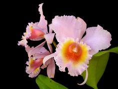 "Cattleya schroederae concolor ""esplendor"""