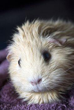- I miss my guinea pigs. :( Guinea pig