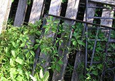 gelber jasmin zimmerpflazen pinterest jasmin pflanze zimmerpflanzen und pflege. Black Bedroom Furniture Sets. Home Design Ideas