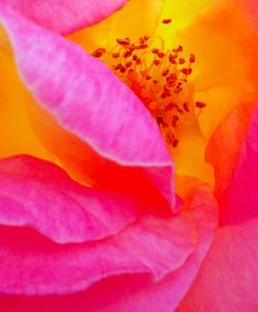 closeup photo of a rose ... luv the flow of the lines ... hot pink, orange and yellow ...