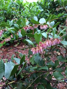 Flowering Heath (lyonia lucida): Lyonia lucida is a species of flowering plant in the heath family known by the common names fetterbush lyonia, hurrahbush, and staggerbush. Other plants may be called fetterbush. This plant grows on the coastal plain of the southeastern United States from Virginia to Florida to Louisiana.