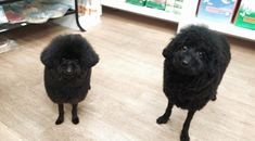 トイプードルの羊カット、オススメです。 - UG DOGS アトラスタワー中目黒店 店長日誌