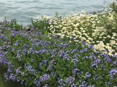 "oxeye daisies and amsonia ""Blue Ice"""