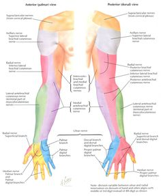 upper extremity peripheral nerves netter - Google Search