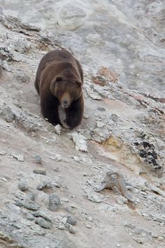 Grizzly Coming Down the Hill by Kurt Bowman / 500px