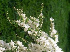 """Pärlbuske - """"The Bride"""" blir högst 1,5 m hög, trivs i sol eller halvskugga. Lättskött."""