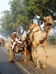 INDIA - Camel Cart. Love seeing this every day down our street #india