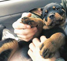 All Things Rottweiler 😍😍 Rottweiler Breed, Rottweiler Love, Paris Football, Mans Best Friend, Best Friends, Dogs Of The World, Softies, Best Dogs, French Bulldog