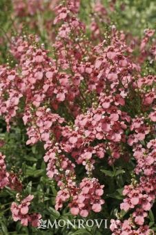 Coral Canyon Hardy Twinspur - Diascia integerrima 'Coral Canyon' - Reaches 12 to 15 inches tall and 15 to 18 inches wide.