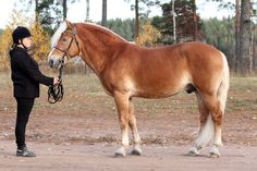 Finnhorse stallion Esu was accepted to the studbook with prize as a draft-horse. Horse Types, Medieval Books, Draft Horses, Palomino, Horse Breeds, Beautiful Horses, Animals, Animaux, Animales
