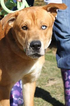 URGENT!!~~~~Meet URGENT- ZEKE IN PACKED GASSING SHELTER a Petfinder adoptable Yellow Labrador Retriever Dog   Downingtown, PA   2506-Zeke-1 yr-gsd/red tick mix- BEAUTIFUL BLUE EYES-HE IS IN A RURAL GASSING SHELTER IN BECKLEY...