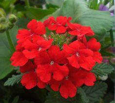 Verbena Red Flowers, Beautiful Flowers, Verbena, Drought Tolerant, Hanging Baskets, Geraniums, Flower Power, Dawn, Sweet