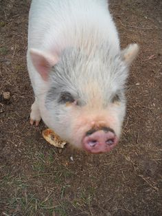 This piggy looks just like my Princess Pinky Piglet! This Little Piggy, Little Pigs, Cute Baby Pigs, Cute Babies, Pot Belly Pigs, Pet Pigs, Calvin And Hobbes, Crazy People, Dip Recipes