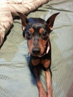 My miniature pinscher Eva!