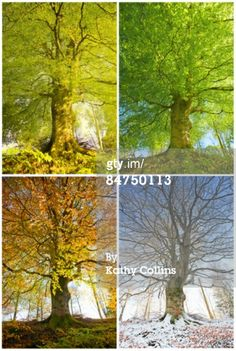 View top-quality stock photos of Beech Tree Through Four Seasons. Find premium, high-resolution stock photography at Getty Images. Family Room Walls, Beech Tree, Photo Tree, Autumn Summer, Four Seasons, Sky, Stock Photos, Nature, Plants