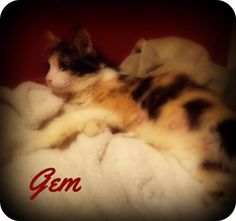Gem is an adoptable Calico Cat in Pekin, IL HELLO!  I'm Gem and I am a beautiful, young, calico girl.  I came to TAPS after being picked up ... ...Read more about me on @petfinder.com