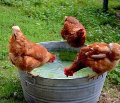 .I have the tub but no chickens....