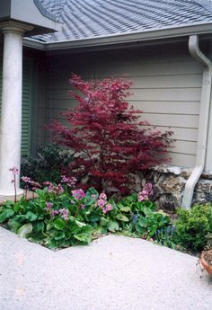 8 Best Pygmy Japanese Maples Images Garden Trees Japanese Maple