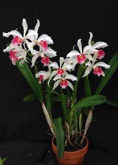Laelia purpurata var. carnea CH-17248 | by Orchids by Hausermann