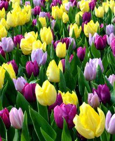 Tulip Phillie Pastel Mix