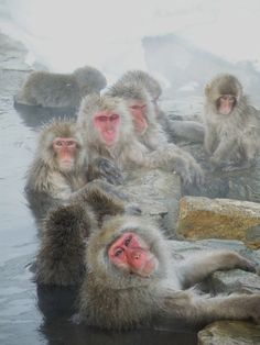 Japanese wild snow monkeys taking a outdoor hot spring.