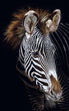Zebra by Paul Keates on 500px✖️More Pins Like This One At FOSTERGINGER @ Pinterest✖️