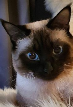 Siamese Cat Gallery - Cat's Nine Lives Siamese Kittens, Cute Cats And Kittens, I Love Cats, Crazy Cats, Cool Cats, Kittens Cutest, Pretty Cats, Beautiful Cats, Animals Beautiful