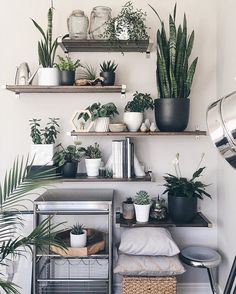In my south-facing room is where most of my plants like to congregate. I need a cool name for this little sanctuary. #helpmedecide #shelfiesaturday #details . . . #plantparty #houseplants #green #urbanjungle #succulents #plants #succulove #nature #jadeplant #peperomia #cactus #haworthia #rubberplant #majestypalm #airplants #peacelily #dailydose #cleanair #airpurifier #decor #shelfie #urbanjunglebloggers #houseplantclub #melsplants #golddetails #homesweethome #neutrals