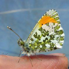 Orange-tip butterfly (Anthocharis cardamines), - Upper-Broughton, Nottinghamshire, England by RobBrown@@