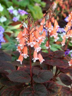 "Smithiantha cultivar ""Junko"""