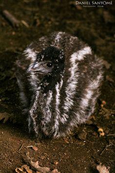 """""""Baby Emú"""", una de las crías de Emú nacidas en los recintos de Marcelle Natureza."""