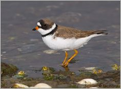 Semipalmated Plover - S. USA, Caribbean & S. America