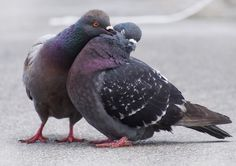 Especially in the spring and summer, if you watch pigeons you'll soon see them smooching and preening each other in courtship.