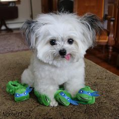 15 Adorable Photos of Norbert the Dog Tiny Puppies, Cute Puppies, Cute Dogs, Cute Baby Animals, Animals And Pets, Funny Animals, Therapy Dogs, Outdoor Dog, Beautiful Dogs