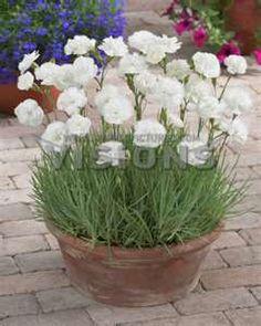 Dianthus plumarius Haytor White (Pink, Cottage)
