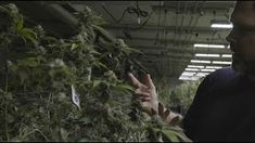 Cheaper than a glass of wine. Cannabis surplus in Oregon drops price of weed