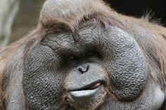 male orangutan - Google Search