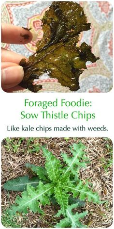"""Foraged, invasive sow thistle weeds made into """"kale"""" chips. Invasivore eating from the Foraged Foodie."""