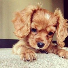 Are you looking for Cocker Spaniel dog names? Here is a collection of funny and cute Cocker Spaniel male/female dog name ideas. Cute Baby Animals, Animals And Pets, Funny Animals, I Love Dogs, Cute Dogs, Funny Dogs, Really Cute Puppies, Adorable Puppies, Tier Fotos